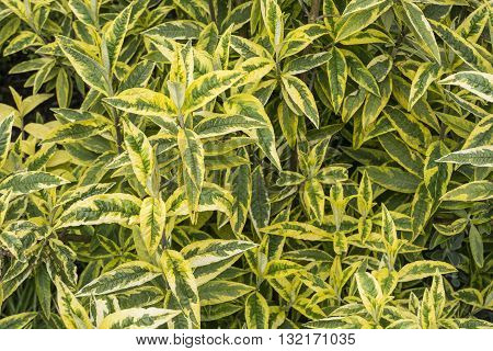 Variegated buddleia bush, also known as the butterfly bush