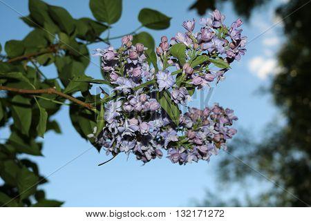 Lilac (Syringa) - beautiful flowering shrubs in gardens dekoratinye