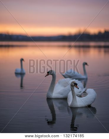 Group of swans on the lake with a mirror reflection during the beautiful sunset.