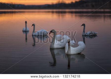 Group of swans on the lake with a wonderful sunset.