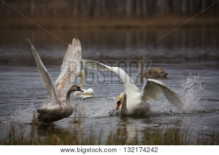 Swans are going to take off from the lake