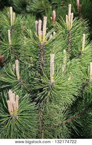 European pine elfin or Zherep or mountain pine (Pinus mugo) - coniferous plant, tree or shrub