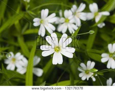 Flower Greater stitchwort Stellaria holostea with bokeh background macro selective focus shallow DOF
