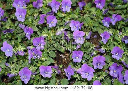 Viola tricolor or Pansy (Viola tricolor) - a beautiful ornamental herb