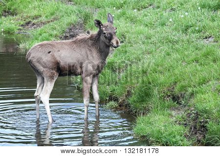 Young moose in the water and nature