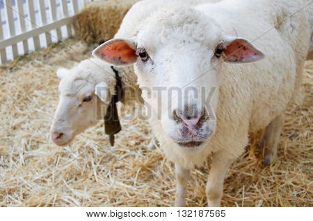 Sheeps in a barn standing on hay
