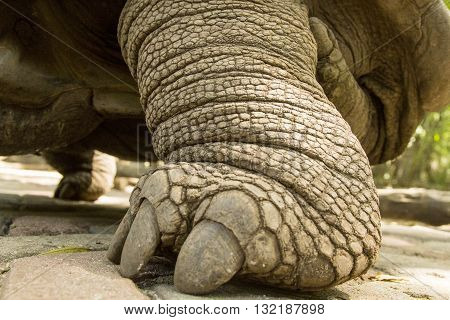 Foot Of A Aldabra Giant Tortoise