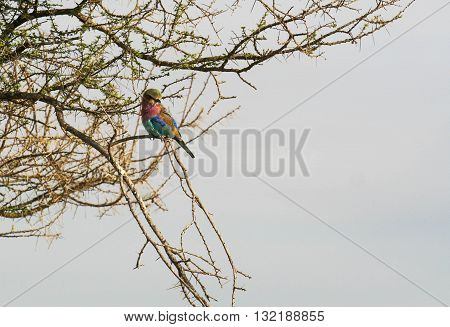Lilac Breasted Roller perched in a tree with thorns