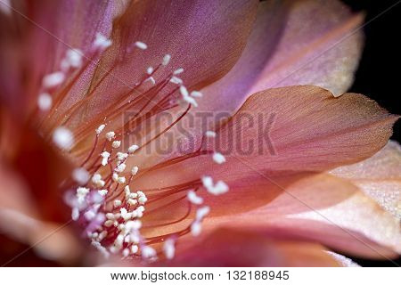 echinopsis pink flower blooming of succulent plant