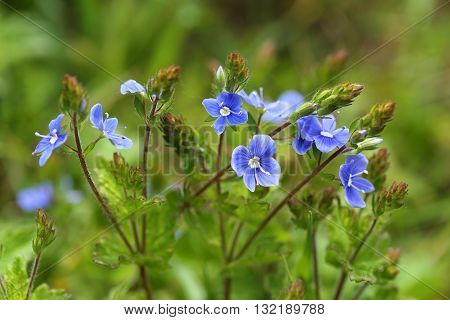 Blue flowers bird's eye speedwell. Veronica chamaedrys.