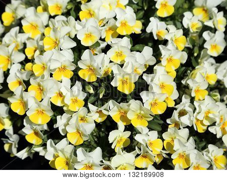 White and yellow flowers of pansies in a ceramic pot.