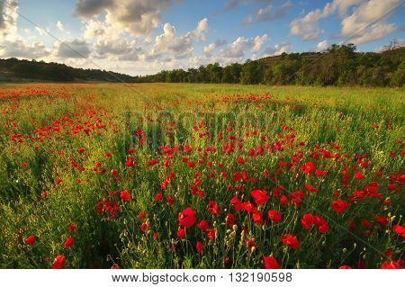 Poppy meadow landscape. Spring nature composition