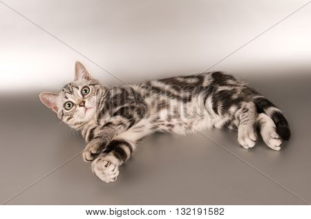 American shorthaired kitten on silver background looking at camera