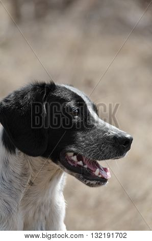 Portrait of a spotted dog outdoors, big-eared and with an open mouth
