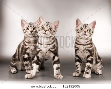 American shorthaired kittens on silver background looking at camera