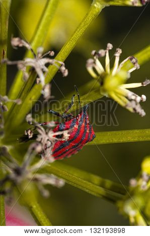 striped Graphosoma lineatum bedbug or a green plant on rise