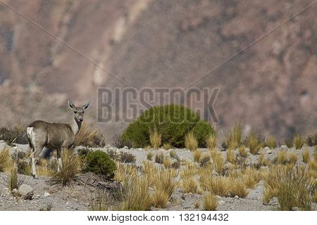 Female North Andean Deer (Hippocamelus antisensis) on the altiplano in Lauca National Park, northern Chile.