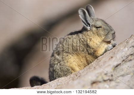 Mountain Viscacha (Lagidium viscasia) resting on a rock in Lauca National Park, northern Chile.