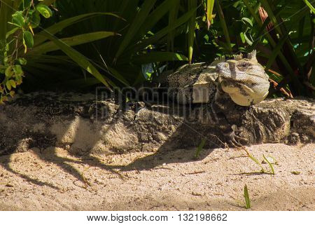 A Lizard camouflaged along a path under the cover of leaves,  watching people pass by