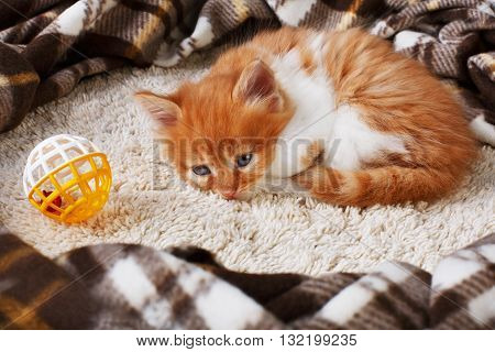 Ginger kitten with white chest. Long haired red orange kitten lay down tired at plaid blanket. Sweet adorable kitten on a serenity blue wood background. Small cat with toy ball. Funny kitten