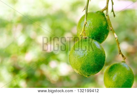 Lime green tree hanging from the branches of it