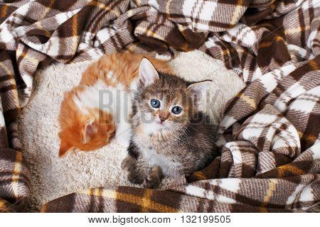 Adorable grey kitten sit near sleeping ginger one. Grey striped kitten sit at brown plaid blanket. Sweet cute kitten on a serenity blue wood background. Pet care. Funny kitten