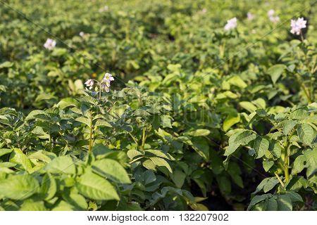 Close up of a potato field, Potato bush blooming white flowers