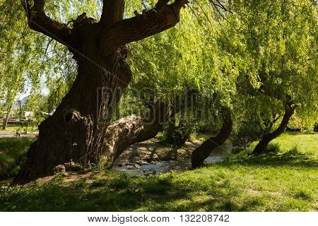 a weeping willow in Jena Paradies park at the site where the Leutra flows into the Saale