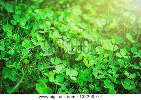 Clover in sunlight. Nature background with clover leaves