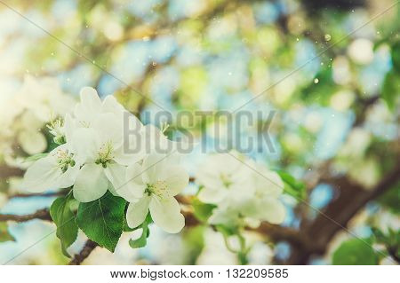 Apple tree blooming in sunshine. Nature background with blooming