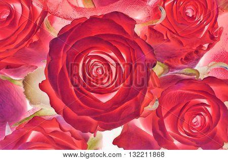 dark red roses background macro