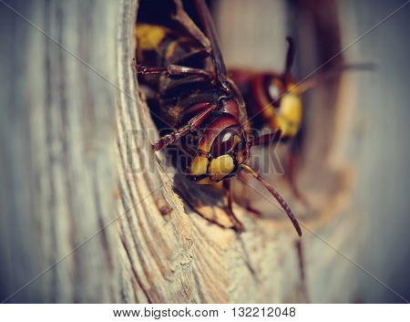 Two big wasps - hornets about an entrance to a nest.
