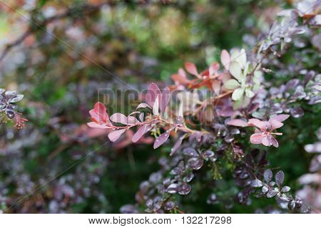 Red And Purple Tree Leaves With Dew Drops