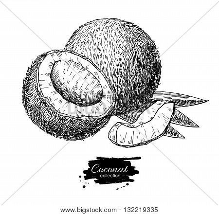 Vector hand drawn coconut. Tropical summer fruit engraved style illustration. Detailed food drawing. Great for label poster print