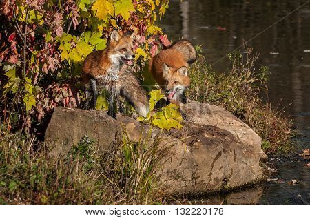 Red Foxes (Vulpes vulpes) on Rock - captive animals