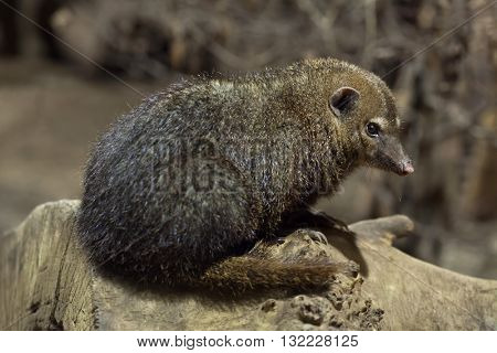 Common kusimanse (Crossarchus obscurus), also known as the long-nosed kusimanse. Wildlife animal.