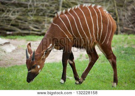 Eastern bongo (Tragelaphus eurycerus isaaci), also known as the mountain bongo. Wildlife animal.
