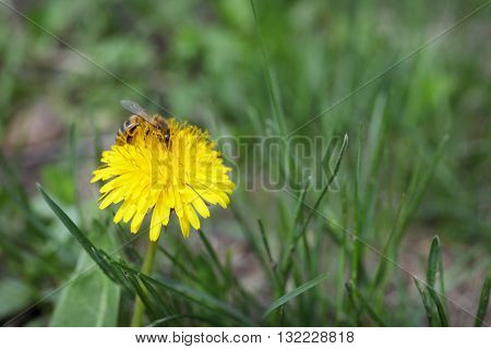 Bee collecting nectar on a dandelion
