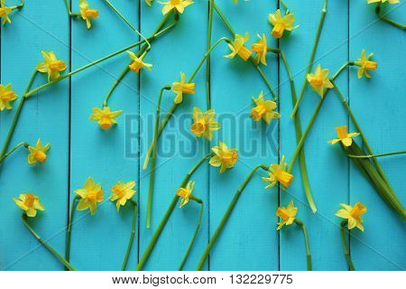 Yellow daffodils on turquoise wooden background, closeup