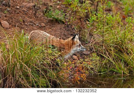 Red Fox ( Vulpes vulpes) Looks Right on Shore - captive animal
