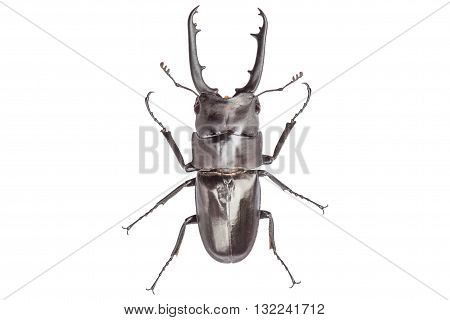 male stag-beetle isolated on white background with cliping path