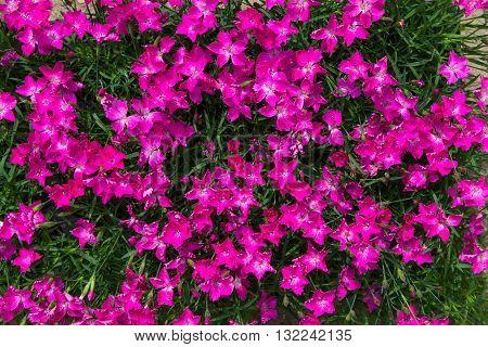Closeup Of Vibrant Pink Blossoms.