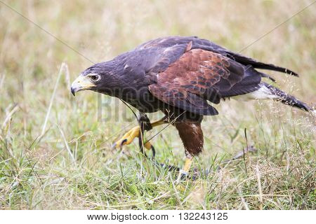 Harris's Hawk Walking Between The Grass