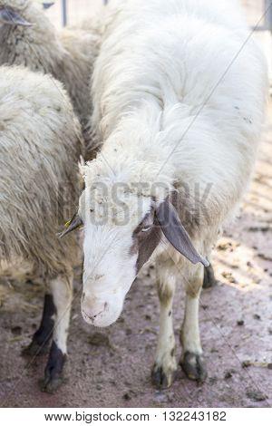 Closeup Of A Domestic Sheep