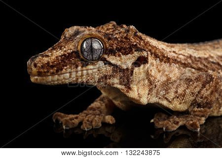 Closeup Gargoyle Gecko Rhacodactylus auriculatus in profile staring Isolated on black background. Native to New Caledonia
