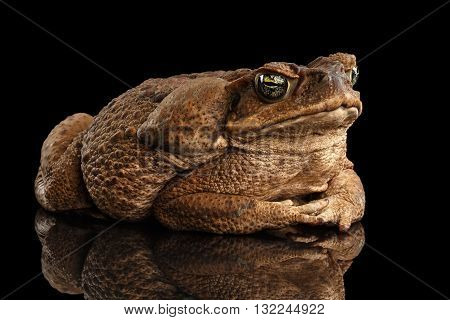 Cane Toad - Bufo marinus giant neotropical or marine toad Isolated on Black Background