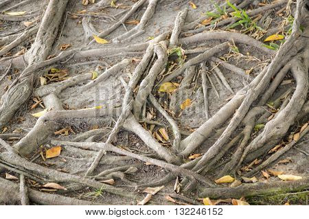 close up dry roots banyan tree in nature garden