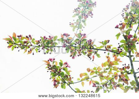 nature, botany, gardening and flora concept - close up of beautiful blooming apple tree branch with flowers in spring garden