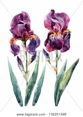 Watercolor irises set. Watercolor iris flower. Floral elements isolated on white background. Hand drawn garden illustration for greetings invitations card design