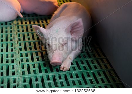 Piglet Sleeping On Plastic Flooring